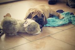 South African Boerboel Stock Photos