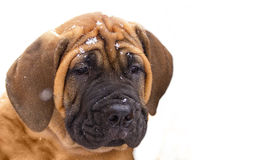 South African Boerboel Royalty Free Stock Photography