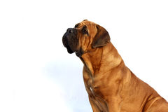 South African Boerboel Stock Photography