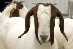 South African Bore Goat. Young, female South African Bore Goat Stock Image