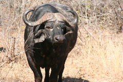 South African buffalo Royalty Free Stock Photo