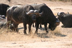 South African buffalo Royalty Free Stock Photography