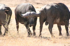 South African buffalo Royalty Free Stock Images