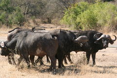 South African buffalo Stock Photography