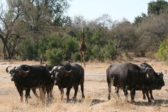 South African buffalo Stock Images