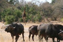 South African buffalo. In the wild Stock Photos