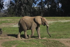 South African bush elephant (Loxodonta africana af Stock Photos