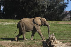 South African bush elephant (Loxodonta africana af Stock Image