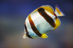 South African Butterflyfish. (Chaetodon marleyi) - Marine species royalty free stock photos
