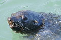 South African (Cape) Fur Seal #1 Royalty Free Stock Photos