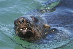 South African (Cape) Fur Seal 3 Royalty Free Stock Images