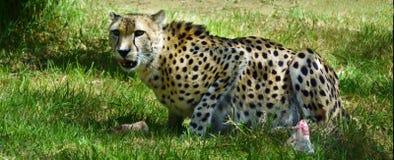 South African Cheetah eating prey Royalty Free Stock Photos