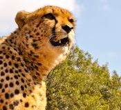 South African cheetah Stock Images