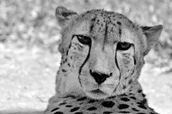 South African cheetah face Royalty Free Stock Photos