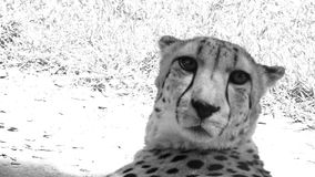 South African Cheetah face up close and personal stock video