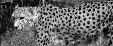 South African cheetah Royalty Free Stock Images