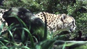 South African cheetah  walking in the Savannah stock footage