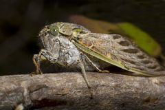South African cicada. Cicada from the western cape coast of South Africa Scientific name Platypleara capensis stock image