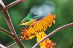 South African Collared sunbird Stock Photography
