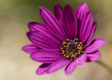South African daisy. Macro image of the purple osteospermum ( South African daisy Stock Images
