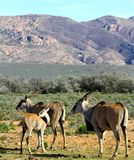 South African Eland Calf cleaning coat Stock Images