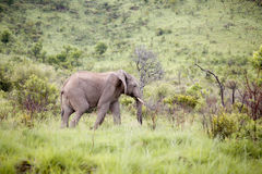 South African Elephant bull Stock Images