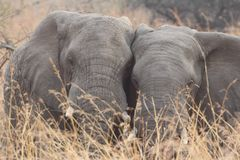 South African Elephant Stock Photos