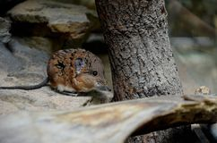 South African Elephant Shrew Royalty Free Stock Photos