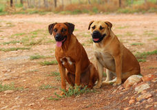 Ridgeback and Boerboel dogs stock image