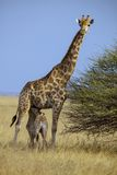 South African Female Giraffe,Etosha National Park, Namibi