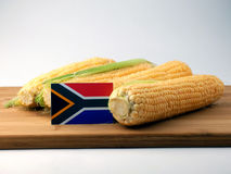 South African flag on a wooden panel with corn isolated on a whi. Te background royalty free stock photos