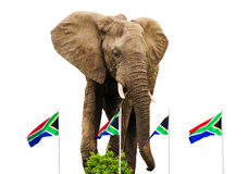 South-African Flags and Elephant. Waving South-African flags with large african elephant isolated on white royalty free stock image