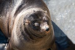 South african fur seal Royalty Free Stock Images