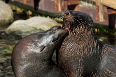 South African Fur Seal (Arctocephalus pusillus) Stock Images
