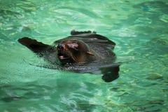 South African Fur Seal, Arctocephalus pusillus Royalty Free Stock Image