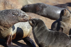 South African fur seal mother greeting pup Stock Photos