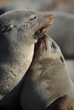 South African fur seal mother with pup Royalty Free Stock Photo