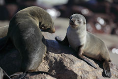South African Fur Seal Pup And Adult Royalty Free Stock Photography