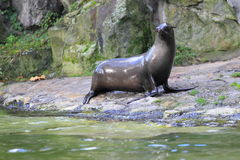 South african fur seal Stock Photo