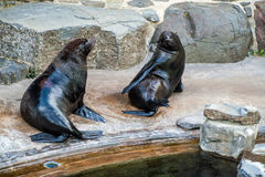 South African Fur Seals Royalty Free Stock Photo