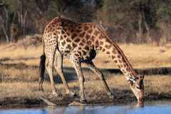 South African giraffe. The giraffe, South African giraffe or Cape giraffe Giraffa camelopardalis giraffa drinking from the waterhole royalty free stock images