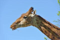 Giraffe Giraffa camelopardalis giraffa. Beautiful portrait against blue sky. South African giraffe or Cape giraffe Giraffa camelopardalis giraffa. Beautiful Royalty Free Stock Photography