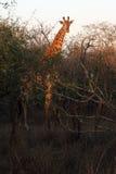 South African giraffe or Cape giraffe. The South African giraffe or Cape giraffe & x28;Giraffa camelopardalis giraffa& x29; during the bushwalk at sunrise Royalty Free Stock Photo