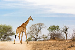 South African giraffe Royalty Free Stock Photography