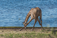South African giraffe drinking with splayed feet Stock Photo