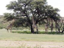 South African Giraffe, Giraffa camelopardalis giraffa, Kalahari, South Africa. The South African Giraffe, Giraffa camelopardalis giraffa, Kalahari, South Africa Stock Photo