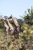 South African giraffe, Giraffa giraffa giraffa, Chobe National Park, Botswana. The South African giraffe, Giraffa giraffa giraffa, Chobe National Park, Botswana Stock Photo