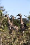 South African giraffe, Giraffa giraffa giraffa, Chobe National Park, Botswana. The South African giraffe, Giraffa giraffa giraffa, Chobe National Park, Botswana Stock Images