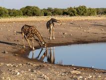 South African giraffe, Giraffa giraffa giraffa, near waterhole, Etosha National Park, Namibia. The South African giraffe, Giraffa giraffa giraffa, near waterhole stock photo