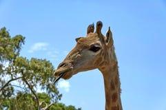 South African giraffe Stock Photo